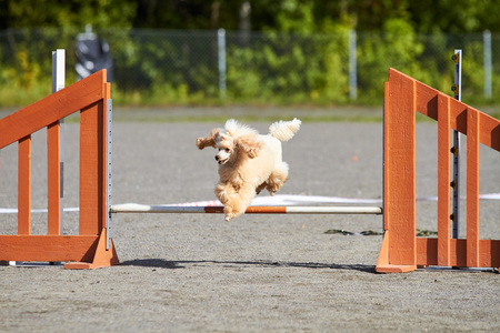 Poodle jumping over a hurdle at dog agility training. Big fur blowing in wind. Action and sports in concept.