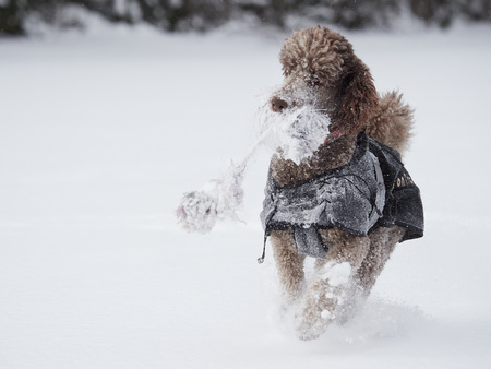 Standard poodle running and enjoying the snow on a beautiful winter day. Playful dog in action with a toy on a snowy field in Finland. Active lifestyle in concept. Stok Fotoğraf