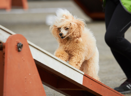 Apricot poodle walking over a hurdle at dog agility training. Big fur blowing in wind. Action and sports in concept.