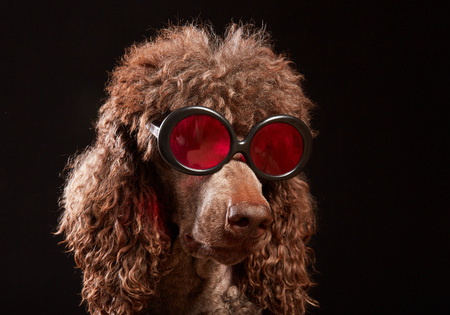 Studio portrait of standard poodle in bright color summer eyeglasses posing in front of the black background. Funny isolated dog with sunglasses looking smart. The concept of unique style and humor. Stok Fotoğraf