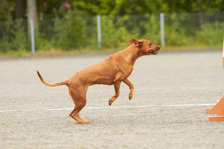 Rhodesian dog jumping on an agility training on a dog playground.