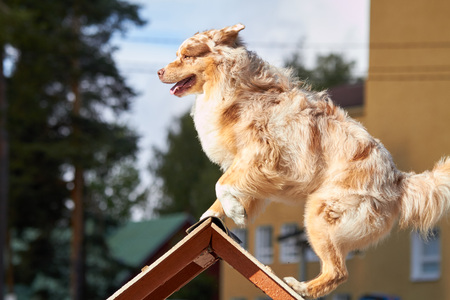 Australian shepherd on a hurdle at dog agility training. Big fur blowing in wind. Action and sports in concept. Stok Fotoğraf