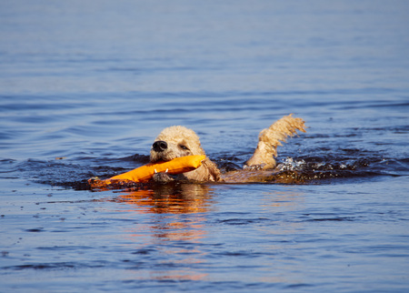 Standard poodle swimming on dog rescue service water training. Playing with an orange fetching toy in a lake  on a sunny summer day in Finland. Stok Fotoğraf