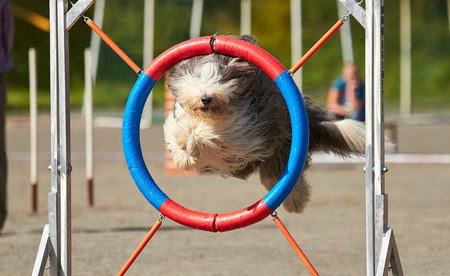 Bearded collie jumping over a hurdle at dog agility training. Big fur blowing in wind. Action and sports in concept. Stok Fotoğraf