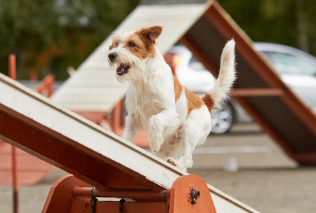 Jack Russell Terrier walking over a hurdle at dog agility training. Big fur blowing in wind. Action and sports in concept.