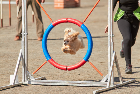 Poodle jumping through a hurdle at dog agility training. Big fur blowing in wind. Action and sports in concept. Stok Fotoğraf