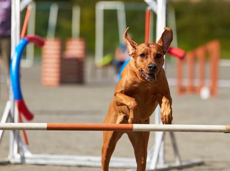 Rhodesian dog jumping on an agility training tire on a dog playground. Stok Fotoğraf