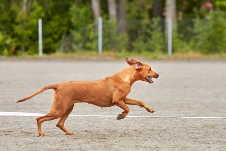 Rhodesian dog running on an agility training on a dog playground.