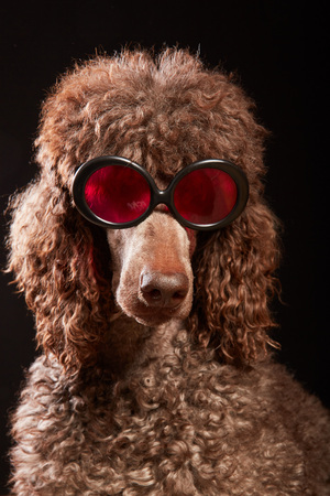 Studio portrait of standard poodle in bright color summer eyeglasses posing in front of the black background. Funny dog with sunglasses looking smart. The concept of unique style and humor.