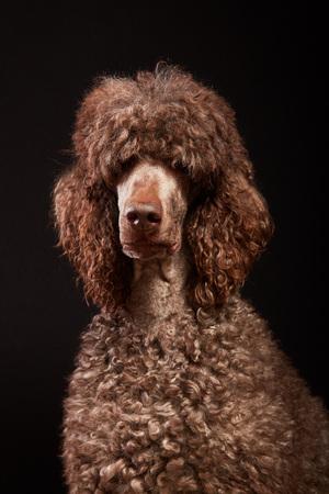 Funny dog portrait in studio. Brown standard poodle isolated on black background. Stok Fotoğraf