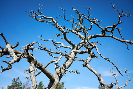 Old dead wood in the finnish archipelago. Blue sky on the background. Nature details on a sunny spring day in Kasnäs, Kemiö, Finland.