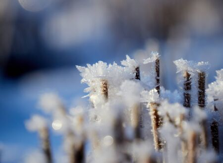 Close up of a straw of yellow grass covered with frost crystals, glowing in bright sunlight in Finland
