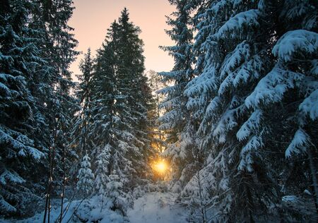 Sun Rays Through Frosty Trees. Dramatic winter wonderland scenery in scenic golden evening light at sunset in Finland.