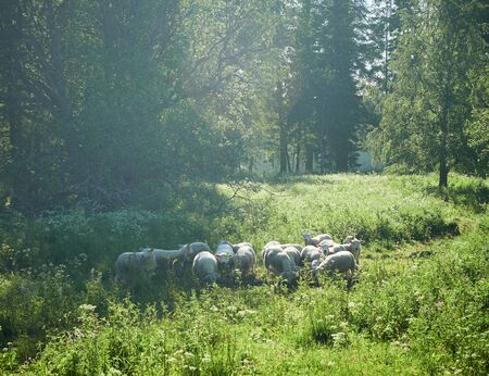 Sheeps and lambs on a meadow with green grass. Flock of sheep in sun rays on green summer background.
