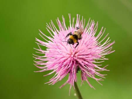 Bumblebee sucks nectar from the flower. Summer close up image of a hairy insect. Stock Photo