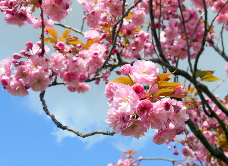 Beautiful branches of soft pink cherry blossoms sakura in spring time over blue sky
