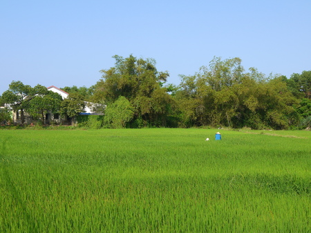 Beautiful landscape with view of a farmer working in a big green rice field in Hoi An