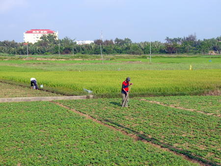 HOI AN, VIETNAM - 18TH MARCH 2018: Farmers working,raking, watering by hands in peanut field early morning in Hoi An