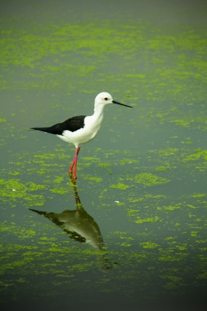 duckweed: One Black-winged Stilt in a zoo in Thailand