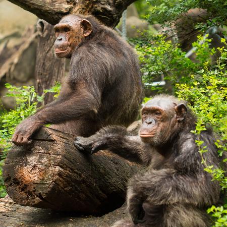 Two chimpanzees exhibit within the Dusit Zoo  photo