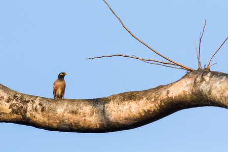 common myna bird: The common myna perched on the big tree in the park.