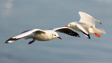 The white seagull flying in the sky.