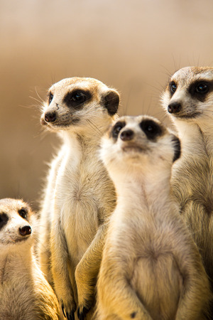 body dimensions: Meerkat or Suricate in the zoo , Thailand