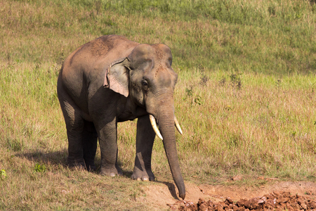 national forests: The elephant living in tropical forests, Khao Yai National Park,  Thailand. Stock Photo