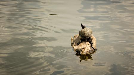 La tortuga que se sienta en la madera en un estanque de agua fresca. Foto de archivo