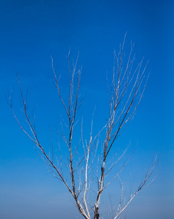 many branches: Dry tree with many branches in blue sky.