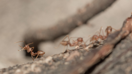 Red ants on the tree  ,selective focus point