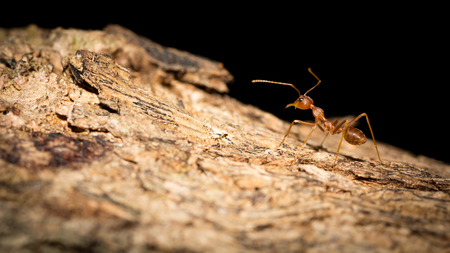 Red ant on the tree  ,selective focus point Stock Photo