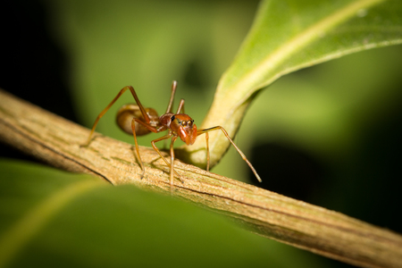Red ant on the leaves ,selective focus point