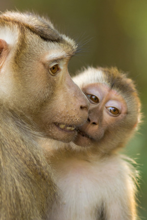 primates: The monkey live in the forest, Khao Yai National Park, Thailand
