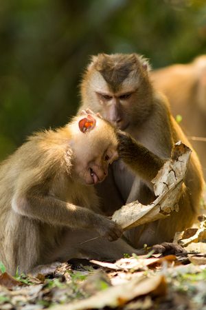 confined: The monkey live in the forest, Khao Yai National Park, Thailand