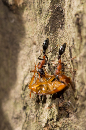 Two ants hunting a cockroach, selective focus point