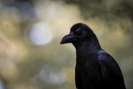 corvus: The Large-billed crow live in the park. Stock Photo