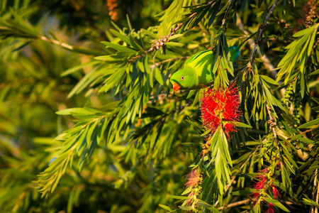 vernal: Vernal Hanging Parrot live in the park Stock Photo