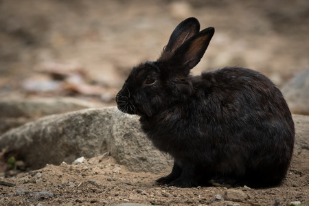 leporidae: Portrait of black rabbit in the park.