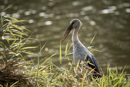 oscitans: Asian Openbil is a big bird in Thailand.