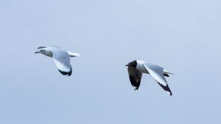 Two white gulls flying on the blue sky. Stock Photo