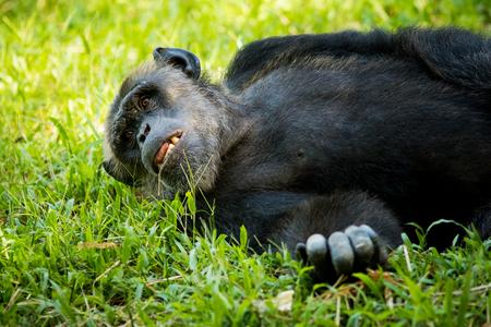 exhibit: Chimpanzee exhibit within the zoo.