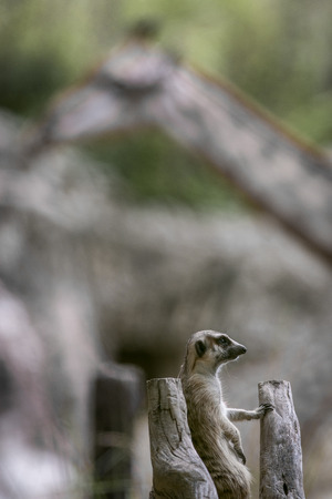 Meerkat or Suricate in the zoo , Thailand