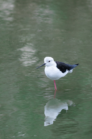 One Black-winged Stilt in a zoo in Thailand