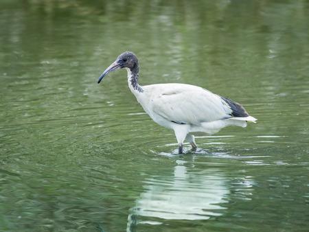 gray herons: Ibis is a big bird in Thailand.