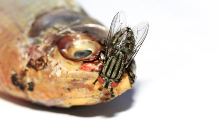 karkas: Close-up van vliegen eten gedroogde vis op witte achtergrond.