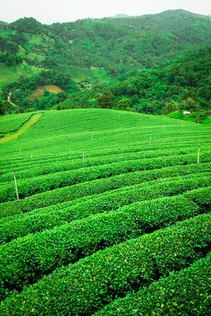 Beautiful Tea plantation in North, Thailand.
