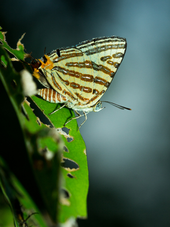 silverline: The small butterfly in the garden.
