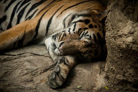 Tiger exhibit within the Dusit Zoo.