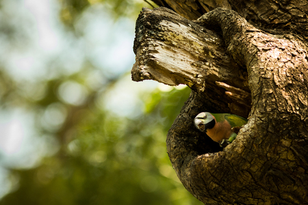 The parakeet living in wood hollow in the garden. Stock Photo